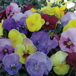 Pansy Pastel Mixed